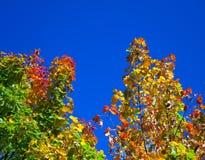 Árbol del otoño con follaje brillante Fotografía de archivo libre de regalías