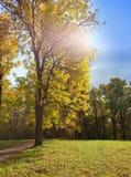 Árbol del otoño con follaje brillante en un fondo del cielo azul. Paisaje en un día soleado Fotografía de archivo