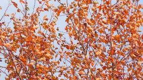 Árbol del otoño con las hojas del rojo y las pequeñas frutas metrajes