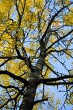 Árbol del otoño contra el cielo azul Fotografía de archivo libre de regalías