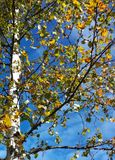 Árbol del otoño del abedul del cielo azul Fotos de archivo