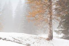 Árbol del otoño del oro en bosque alpino de la nieve Imagen de archivo