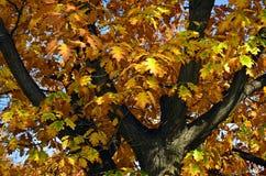 Árbol del otoño del primer Imagenes de archivo