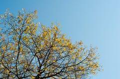 Árbol del otoño en fondo del cielo azul Fotos de archivo libres de regalías