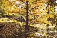 Árbol del otoño en la orilla de la charca en parque Fotografía de archivo