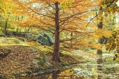 Árbol del otoño en la orilla de la charca en parque Foto de archivo