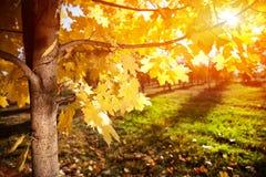 Árbol del otoño en la puesta del sol Fotos de archivo libres de regalías