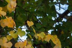 Árbol del otoño por completo de las hojas del verde y del amarillo foto de archivo libre de regalías