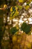 Árbol del otoño por completo de las hojas del verde y del amarillo en una puesta del sol foto de archivo