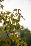 Árbol del otoño por completo de las hojas del verde y del amarillo en una puesta del sol fotografía de archivo