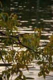 Árbol del otoño por completo de las hojas del verde y del amarillo en una puesta del sol foto de archivo libre de regalías