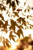 Árbol del otoño por completo de las hojas del verde y del amarillo en una puesta del sol imagen de archivo libre de regalías