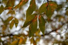 Árbol del otoño por completo de las hojas del verde y del amarillo en una puesta del sol imagenes de archivo