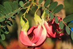 Árbol del pájaro del tarareo de Agasta Imágenes de archivo libres de regalías