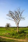 ?rbol del paisaje en el centro de los campos de arroz con el fondo natural foto de archivo