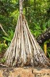 Árbol del Pandanus Fotos de archivo
