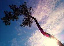 Árbol del paraíso Fotografía de archivo