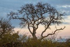 Árbol del parque nacional de la montaña de la tabla Fotografía de archivo