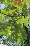 Árbol del peltata del Cecropia Imágenes de archivo libres de regalías
