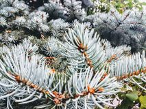 Árbol del Pin foto de archivo libre de regalías