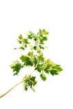 Árbol del Platanus Foto de archivo libre de regalías
