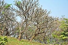 Árbol del Plumeria Fotos de archivo