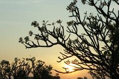Árbol del plumeria de la silueta Fotos de archivo libres de regalías