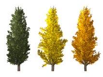 Árbol del Populus aislado en blanco ilustración del vector