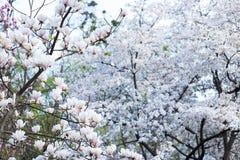 Árbol del primer blanco de la magnolia Fotografía de archivo libre de regalías