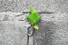 Árbol del primer en la pared de ladrillo Foto de archivo libre de regalías