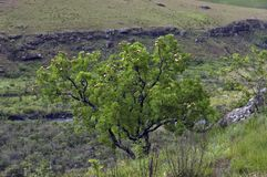 Árbol del Protea en el castillo de Giants foto de archivo