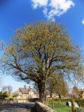 Árbol del pueblo, Crookham Northumberland, Inglaterra Foto de archivo