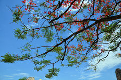 Árbol del regia del Delonix con las nubes y el cielo Foto de archivo libre de regalías