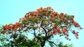 Árbol del regia del Delonix del árbol de llama en auge completo fotografía de archivo libre de regalías