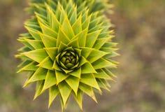 Árbol del rompecabezas de mono de Araucana de la araucaria Fotos de archivo libres de regalías