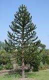 Árbol del rompecabezas de mono del araucana- de la araucaria Imagenes de archivo
