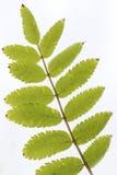 Árbol del serbal (ceniza de montaña), detalles Fotos de archivo libres de regalías