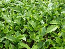 Árbol del té Foto de archivo libre de regalías