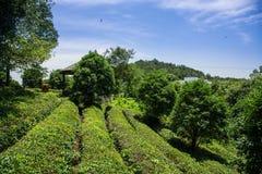 Árbol del té Fotografía de archivo libre de regalías