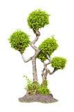 Árbol del té de los bonsais Imágenes de archivo libres de regalías