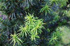 Árbol del tejo (cuspidata de la taxus). Imagenes de archivo