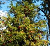 Árbol del tejo y x28; Baccata& x29 de la taxus; con las bayas rojas fotos de archivo