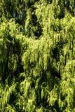 Árbol del Thuja imagen de archivo libre de regalías