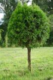 Árbol del Thuja Foto de archivo
