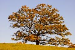 Árbol del Tilia en el campo en otoño Fotografía de archivo