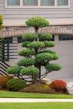 Árbol del Topiary en el Frontyard casero fotos de archivo