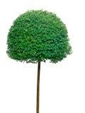 Árbol del Topiary sobre el fondo blanco Foto de archivo libre de regalías