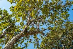 Árbol del tronco con una rama y una hoja Imagen de archivo