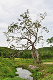 Árbol del tronco de la maravilla Imagen de archivo