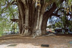The Árbol del Tule Taxodium mucronatum is a cypress in the southern Mexican town of Santa Maria del Tule Oaxaca. With a circumference of 36.2 m and a royalty free stock image